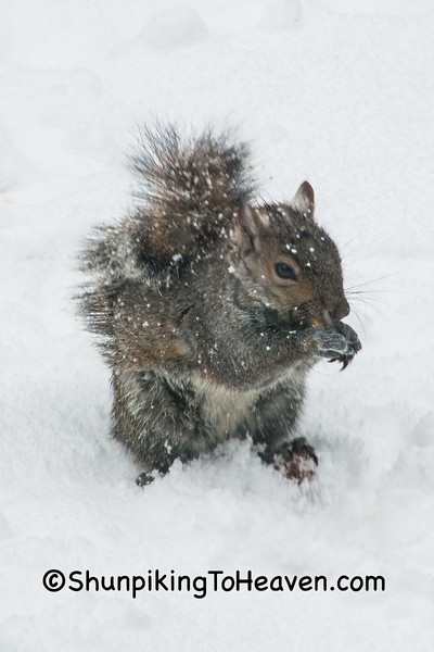 Squirrel in April Snowstorm, Dane County, Wisconsin