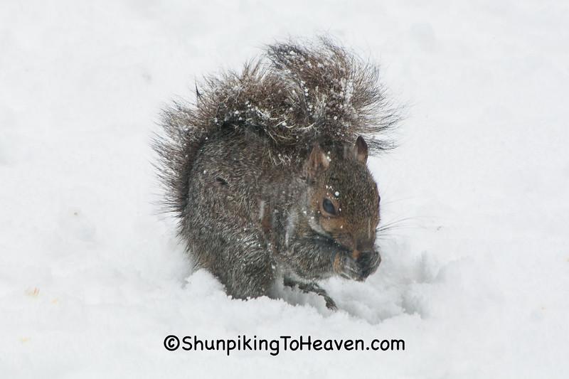 Squirrel in April Snowstorm, Dane County, Wisconsin