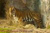 Asian Tiger on the Maharajah Jungle Trek