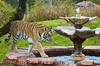 Asian Tiger on the Maharajah Jungle Trek in Disney's Animall Kingdom.Disney's Animall Kingdom