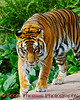 Asian Tigers (Panthera tigris) on the Maharajah Jungle Trek in Disney's Animal Kingdom.