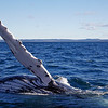 Humpback - Catherine Marciniak's photo
