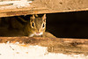 Chipmunk in an Abandoned Outhouse, Portage County, Wisconsin
