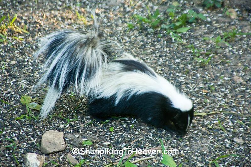 Skunk Below the Birdfeeder, Dane County, Wisconsin