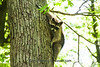 North American Raccoon, Dane County, Wisconsin