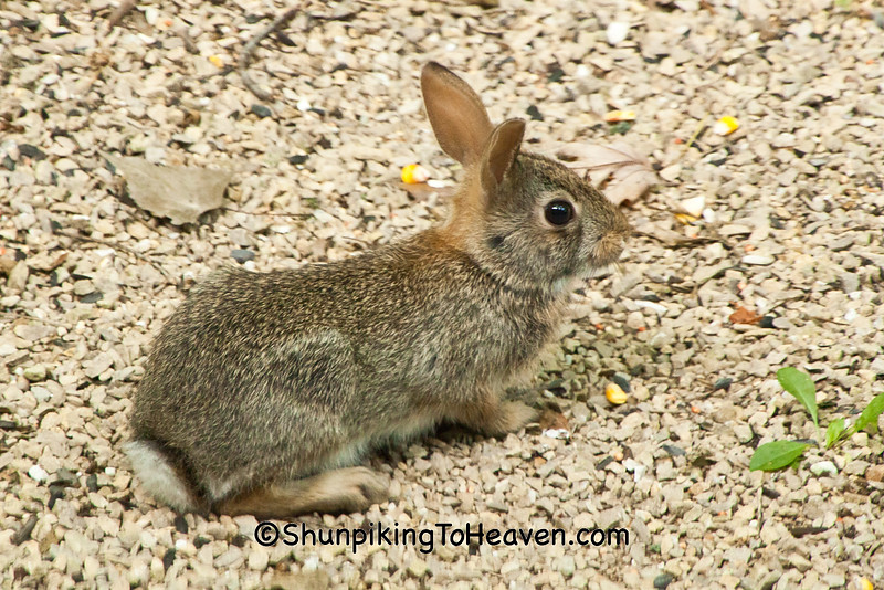 Baby Eastern Cottontail Rabbit, Dane County, Wisconsin