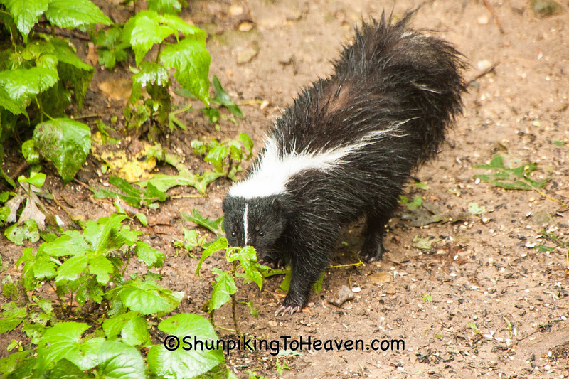 Skunk, Dane County, Wisconsin