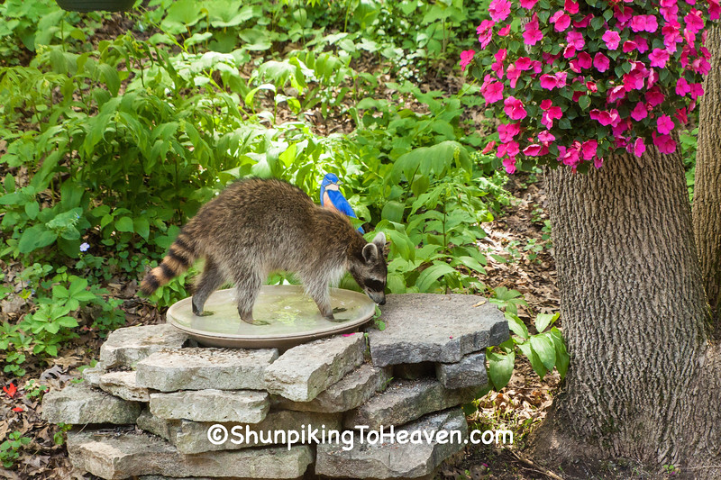 North American Raccoon, Dane County, Wisconsin