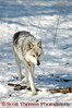A Timber Wolf loping.<br /> <br /> This is a captive animal photographed in a zoo in Syracuse, New York.