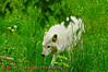 White Timber Wolf walking.<br /> <br /> This is a captive animal photographed in a zoo in Syracuse, New York.