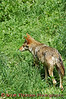 Red Wolf walking.<br /> <br /> This is a captive animal photographed in a zoo in Syracuse, New York.