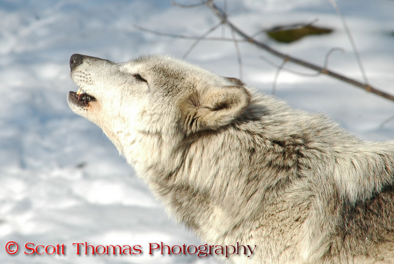 A Timber Wolf howling.  <br /> <br /> This is a captive animal photographed in a zoo in Syracuse, New York.