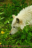 White Timber Wolf smelling.<br /> <br /> This is a captive animal photographed in a zoo in Syracuse, New York.