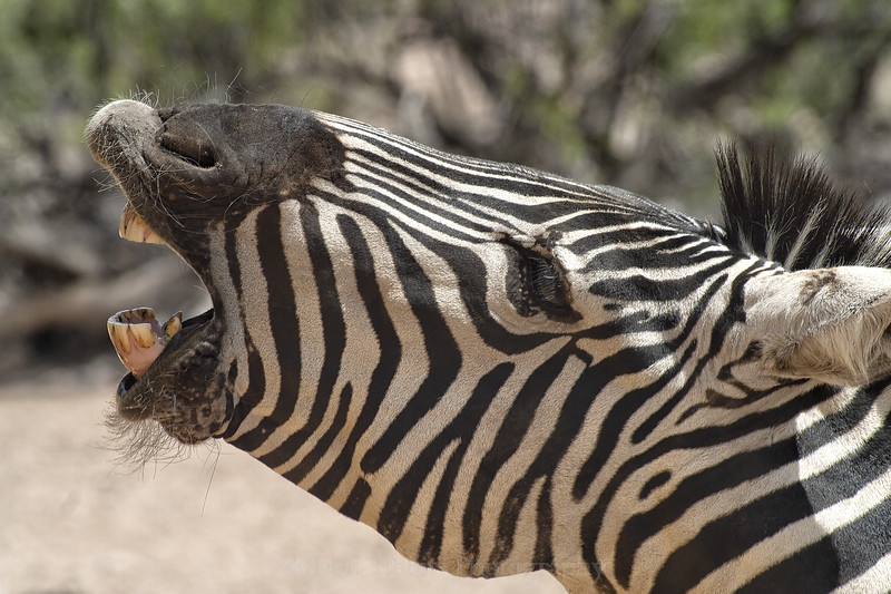 Grant's Zebra. Closeup of head with mouth open and barking and looking to the left.
