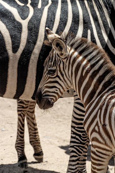 Grant's Zebra. Young zebra foal  by mothers side.