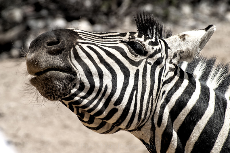 Grant's Zebra. Closeup of head and neck. Head facing lift and raised.