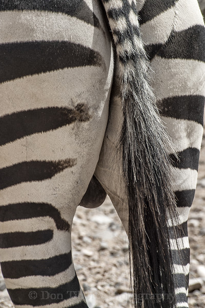 Grant's Zebra. Standing with closup of tail and butt.