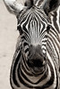 Grant's Zebra. Closeup of head with eyes looking at camera.