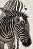 Grant's Zebra. Closeup of upper body and head and eyes. Standing.