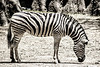 Common - Plains - Chapman's Zebra