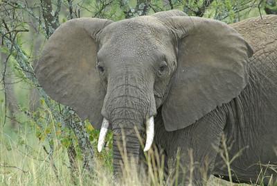 Elephant Serengeti Tanzania 2008
