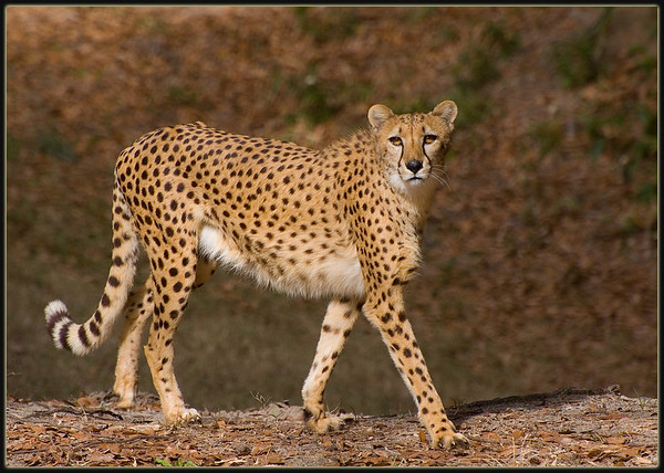 A cheetah prowls in Chehaw animal park
