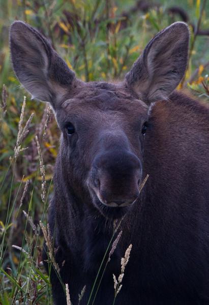 Calf Moose portrait