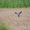 Peek-a-boo! Deer in Tall Grass: