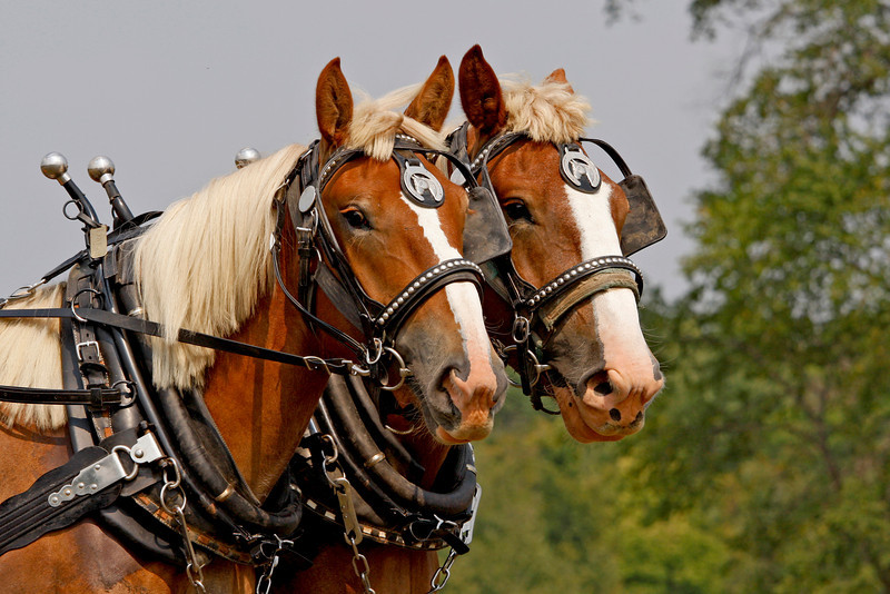 Draft horses part of a competition. Photo take by Jerry Dalrymple