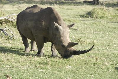 White Rhino Lewa Kenya 2011