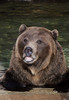 Grizzly Bear cooling off