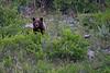 Cinamon Coat Black Bear