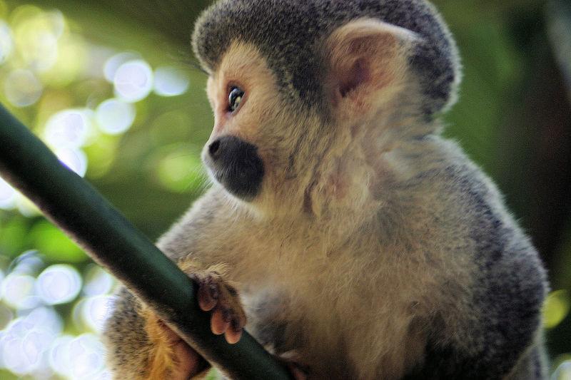 Squirrel Monkey<br /> Ecuador, Amazon Rainforest, Yachana Lodge