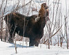 Moose Munching - 2011<br /> 4x5