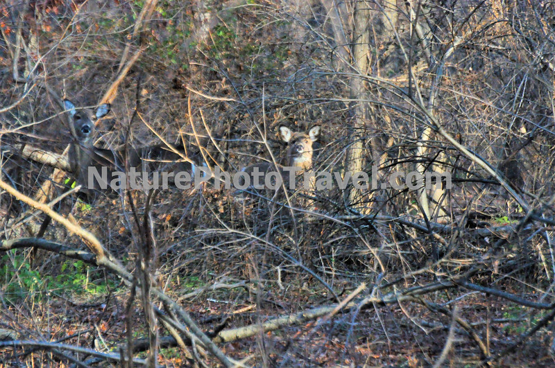 Two Deer in Thicket: taken during hike at John Heinz Wildlife Refuge, Philadelphia, PA