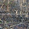 Two Deer in Thicket: taken during hike at John Heinz Wildlife Refuge, Philadelphia, PA