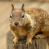 Ground Squirrel: Moonstone Beach