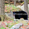 Black Bear. North America's smallest and most common species of bear. Black bears are omnivores, with their diets varying greatly depending on the season. Black bears typically live in largely forested areas, but do leave forests in search of food. Sometimes they become attracted to human communities because of the immediate availability of food.