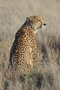 Male Cheetah Lewa  Kenya 2011