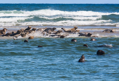 Gray Seals moving onto the sand bar