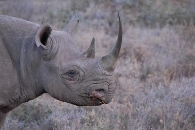 Black Rhino Lewa Kenya 2011