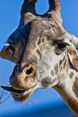 Giraffe at Houston Zoo February 2009