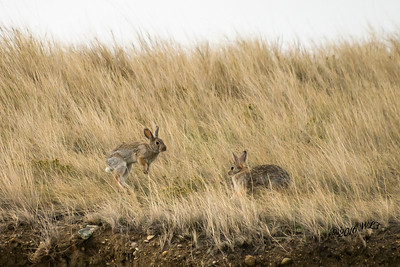 Whitetail Rabbits Play