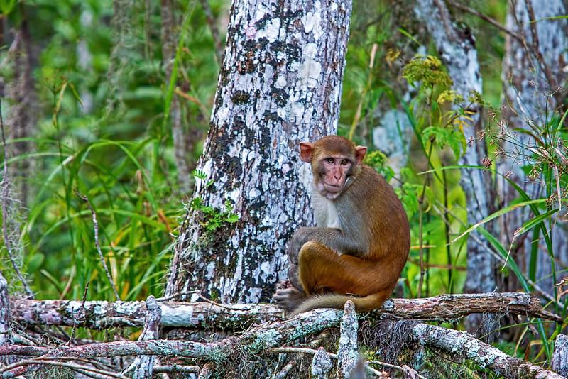 Florida's wild Rhesus monkey