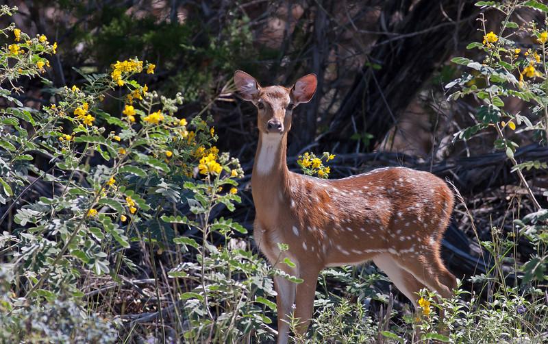 Axis Deer AKA Chital or Cheetal  (doe)