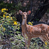 Axis Deer AKA Chital or Cheetal  (doe)
