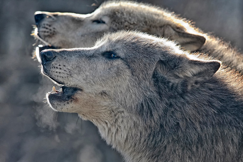 Grey wolfs in winter. This this is the alpha male and female. Photo taken by Jerry Dalrymple