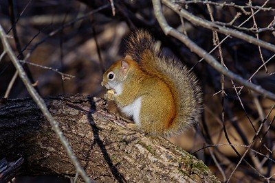 American Red Squirrel (Tamiasciurus hudsonicus).