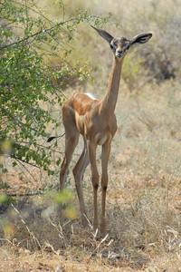 Young Gerenuk  Samburu 2006