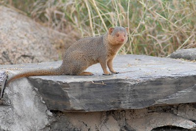 Dwarf Mongoose Serengeti 2008